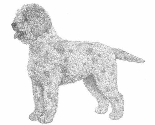 Cane di razza Lagotto Romagnolo