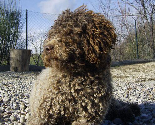 Cane di razza lagotto romagnolo ideale per la famiglia