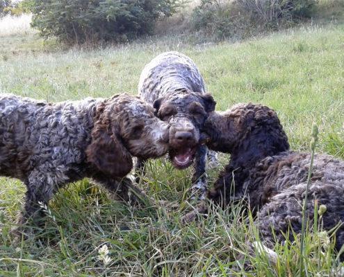 Cuccioli di Lagotto durante il gioco