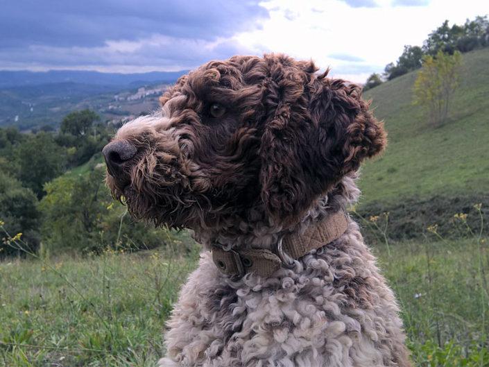 Lagotto-Emiliano-cane-per-famiglie
