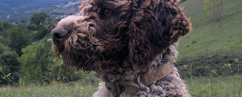 Lagotto Romagnolo ideale cane da compagnia