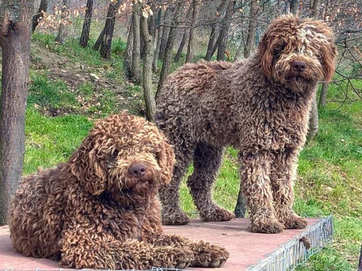 Lagotto: eccezionale cane per famiglie con bambini