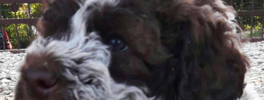 cucciolo lagotto romagnolo marrone roano
