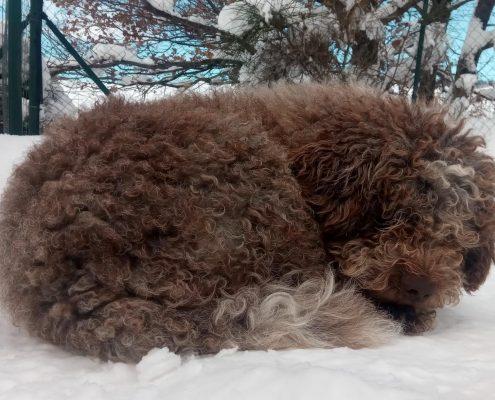 allevamento-lagotto-romagnolo-cane-vasco-che-dorme