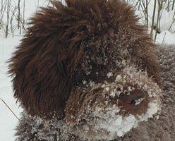 allevamento-lagotto-romagnolo-cane-Uma -nella -neve