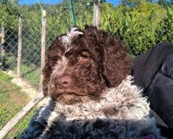 Delle-Codeallegre-cani-da-allevamento-Lagotto-Romagnolo